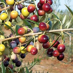Arbequina i-21®_todolivo_fruto