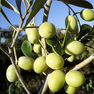 Arbosana i-43®_todolivo_fruto
