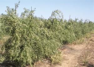 Arbosana i-43®_todolivo_planta