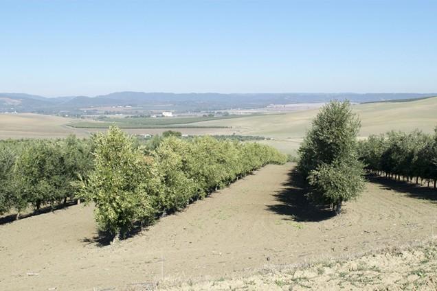 Ensayo multivarietal de olivar en seto de secano