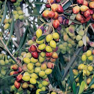 Koroneiki i-38_todolivo_fruto
