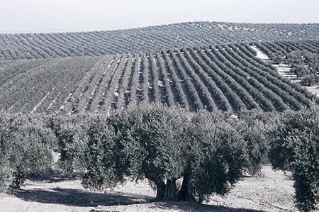 Olivo tradicional Todolivo