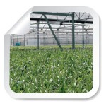 Servicios_plantas-olivo-certificadas