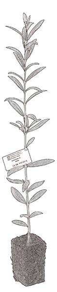 Variedades-planta