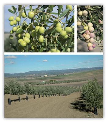 olivar-seto-secano-img08-1