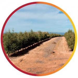 olivar-seto-secano-img10-1